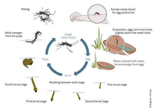 The Terrible and Interesting Mosquito